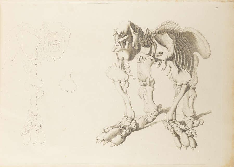 """Christian Heinrich Pander, Illustration aus """"Das Riesen-Faulthier"""" aus Goethes Bibliothek (Klassik Stiftung Weimar)"""