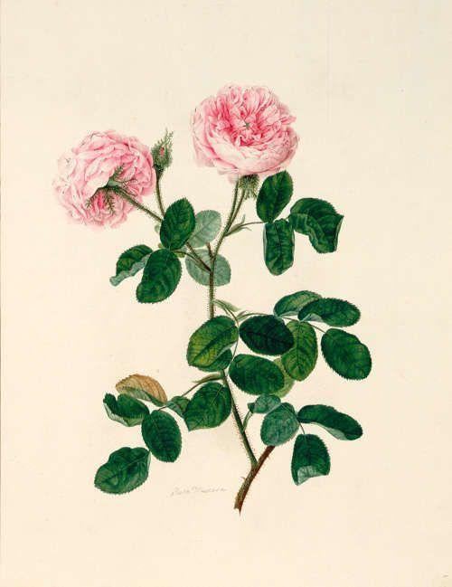 Johann Knapp, Moosrose, um 1810 (Albertina, Wien)