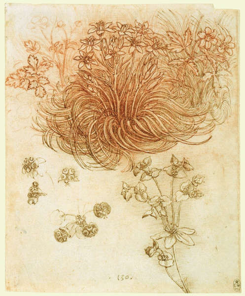 Leonardo da Vinci, Stern von Bethlehem (Ornithogalum umbellatum), Buschwindröschen (Anemone nemorosa) and Sonnenwendwolfsmilch (Euphorbia helioscopia), um 1505–1510, Feder und Tusche and rote Kreide, 19.8 x 16 cm (Blattmaß) (Royal Collection of the Queen, Inv.-Nr. RCIN 912424)