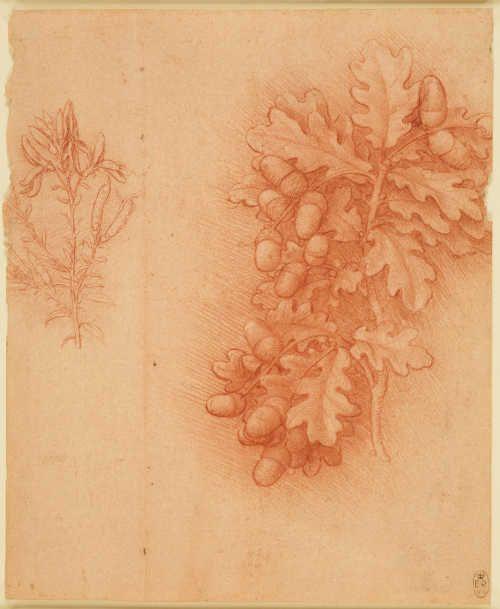 Leonardo da Vinci, Eiche (Quercus robur) und Färberginster (Genista tinctoria), um 1505–1510 (Royal Collection Trust/© Her Majesty Queen Elizabeth II 2017)