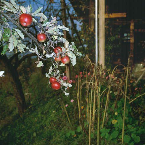 """Manfred Willmann, Ohne Titel (Apfelbaum), aus der Serie """"Das Land"""", 1981–1993, C–Print (Albertina, Wien © Manfred Willmann)"""