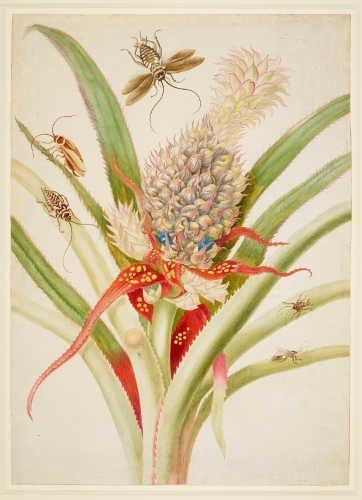 Maria Sibylla Merian, Ananas mit Kakerlake, 1702/03, aus: Metamorphosis Insectorum Surinamensium (Royal Collection Trust / (C) Her Majesty Queen Elizabeth II 2017)
