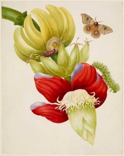 Maria Sibylla Merian, Bananenast mit Automeris Io Motte, 1702/03, aus: Metamorphosis Insectorum Surinamensium (Royal Collection Trust/© Her Majesty Queen Elizabeth II 2017)