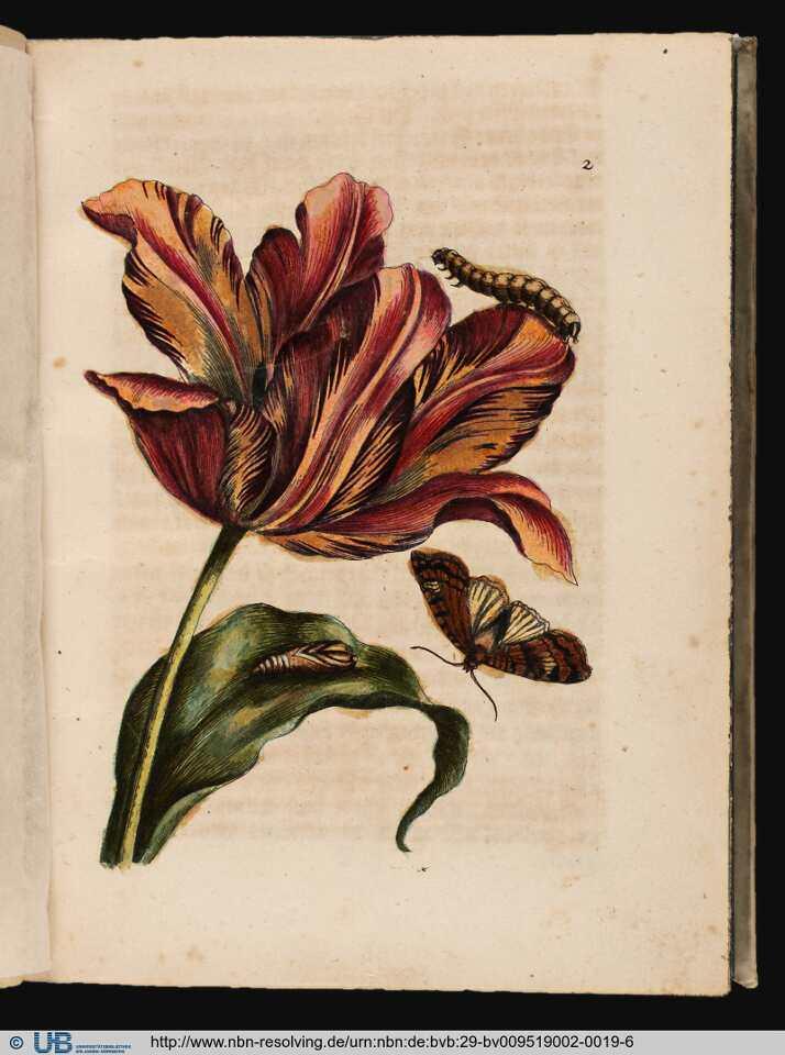 Maria sibylla merian bilder und b cher ber insekten und for Fliegen in blumen