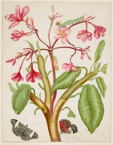 Maria Sibylla Merian, Frangipani mit roter Hamadryas feronia, 1702/03, aus: Metamorphosis Insectorum Surinamensium (Royal Collection Trust/© Her Majesty Queen Elizabeth II 2017)