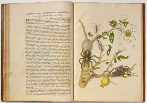 Maria Sibylla Merian, Metamorphosis insectorum suirnamensium, 1705, Ledergebundenes Buch mit 60 kolorierten Umdrucken, Blatt: 51 x 36 cm; Buch: 3,5 x, 37,5 x 51,5 cm (Kunstmuseum Basel, Kupferstichkabinett)