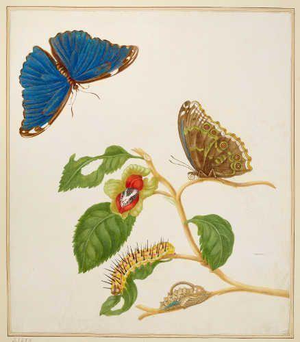 Maria Sibylla Merian, Ast eines unbekannten Baumes mit einem blauen Morpho Menelaus, 1702/03, aus: Metamorphosis Insectorum Surinamensium (Royal Collection Trust/© Her Majesty Queen Elizabeth II 2017)