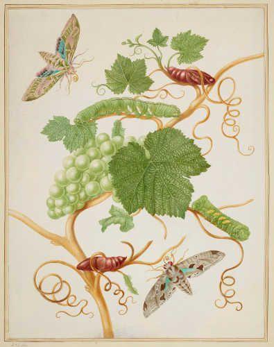 Maria Sibylla Merian, Wein mit Rebenschwärmer und Eumorpha satellitia, 1702/03, aus: Metamorphosis Insectorum Surinamensium (Royal Collection Trust/© Her Majesty Queen Elizabeth II 2017)