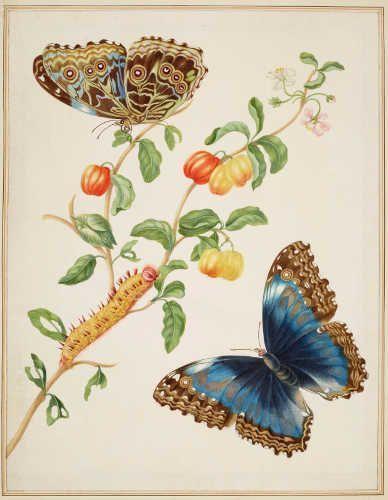 Maria Sibylla Merian, Ast einer West Indischen Kirsche mit einem Blauen Morpho Falter, 1702/03, aus: Metamorphosis Insectorum Surinamensium (Royal Collection Trust/© Her Majesty Queen Elizabeth II 2017)