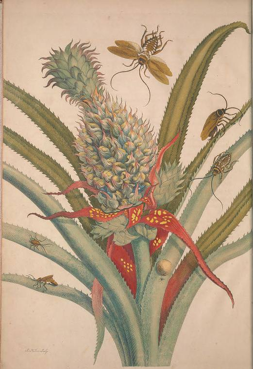 Maria Sibylla Merian, Metamorphosis Insectorum Surinamensium [Verwandlung der surinamischen Insekten], S. 12, Amsterdam 1705 (Washington, Smithsonian Libraries)