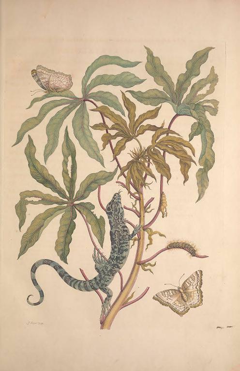 Maria Sibylla Merian, Metamorphosis Insectorum Surinamensium [Verwandlung der surinamischen Insekten], S. 21, Amsterdam 1705 (Washington, Smithsonian Libraries)