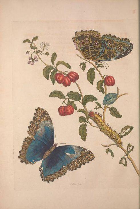 Maria Sibylla Merian, Metamorphosis Insectorum Surinamensium [Verwandlung der surinamischen Insekten], S. 30, Amsterdam 1705 (Washington, Smithsonian Libraries)