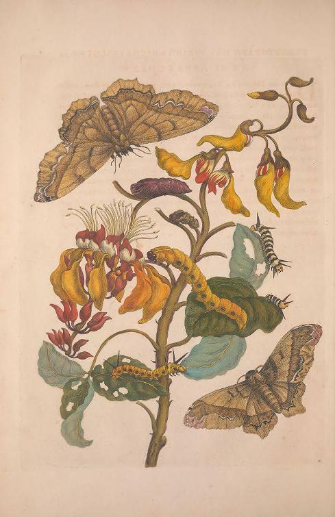 Maria Sibylla Merian, Metamorphosis Insectorum Surinamensium [Verwandlung der surinamischen Insekten], S. 42, Amsterdam 1705 (Washington, Smithsonian Libraries)