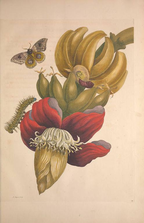 Maria Sibylla Merian, Metamorphosis Insectorum Surinamensium [Verwandlung der surinamischen Insekten], Banane, Amsterdam 1705 (Washington, Smithsonian Libraries)