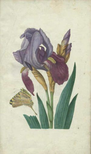 Maria Sibylla Merian, Neues Blumenbuch. Iris […]. Nürnberg: Johann Andreas Graff, 1680 (Universitätsbibliothek, Dresden)