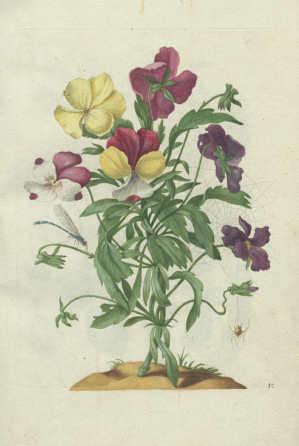 Maria Sibylla Merian, Neues Blumenbuch. Stiefmütterchen […]. Nürnberg: Johann Andreas Graff, 1680 (Universitätsbibliothek, Dresden)