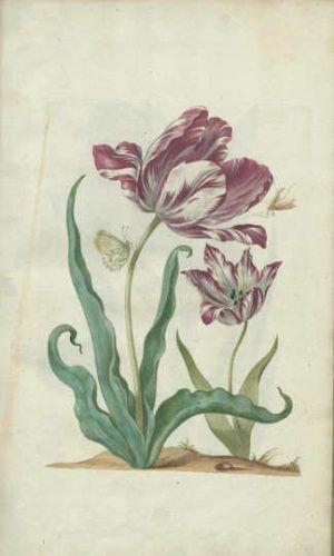 Maria Sibylla Merian, Neues Blumenbuch. Tulpe […]. Nürnberg: Johann Andreas Graff, 1680 (Universitätsbibliothek, Dresden)