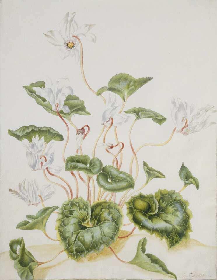 Maria Sibylla Merian, Weiße Cyclamen, Aquarell und Gouache, vorwiegend in grün, rot, orange und weiß auf Pergament, Städel Museum, Frankfurt am Main, Foto: Städel Museum – ARTOTHEK