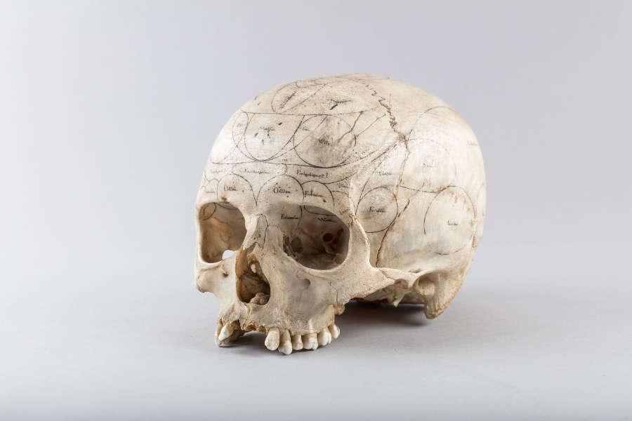 Schädel eines Menschen nach dem System von Franz Joseph Gall beschriftet aus Goethes Sammlungen (Klassik Stiftung Weimar)