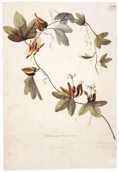 Georg Forster (1754—1794), Passionsblume Passiflora aurantia, Neukaledonien, 1774, Aquarell, 53,3 x 36,5 cm © Natural History Museum, London.